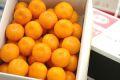当店オリジナル箱。出島の華みかん通販 長崎県 させぼ温州をお歳暮長崎みかんに 約2kg 2S~L サイズ指定はできません