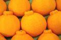 お歳暮デコポン通販 糖度約13度の凸が特徴の柑橘を販売取寄。12月配送中箱 約8玉〜約10玉 熊本・他産地
