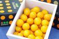宮崎金柑たまたまエクセレント通販 糖度約18度の完熟きんかんを販売取寄。化粧箱 約1kg 約40玉 宮崎産