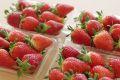 庄内いちご販売 山形県産苺の通販。おとめ心・かなみひめ・4パック入 品種指定できません