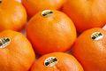 甘平(かんぺい)通販 愛媛産プチプチした食感が特徴の柑橘を販売取寄。約4玉〜約7玉 愛媛産