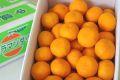 カラマンダリンオレンジ取寄販売 春みかんと呼ばれるカラーを通販で。約5kg S〜2L 愛媛県産