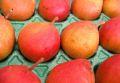 西洋梨カリフォルニア取寄販売 赤く色づく珍しい洋梨を通販で。約5kg 約12玉〜約18玉
