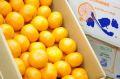 JA三ヶ日みかん「心」通販 静岡県産のこだわりの早生完熟蜜柑販売 お歳暮に。5kg S~2L 糖度12度以上