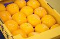 庄内柿孝子丸(こうしまる)通販 1軒の農家さんが守り続ける希少な庄内柿を販売取寄。約3kg 約14〜約20玉 山形県羽黒産