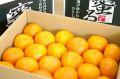 蜜るいよかん通信販売 愛媛県保内共選ブランドの伊予柑を販売取寄。約5kg 愛媛産
