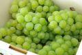 完熟ナイアガラ葡萄通販 芳醇な香りの山形ぶどうを販売。約2kg 5〜9房 山形産