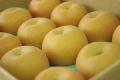 南水梨取寄販売 太鼓判・下伊那園芸・三石農園糖度約14度の和梨を通販で。約5kg 約10玉〜約16玉 長野産
