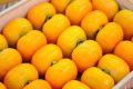 庄内柿通信販売 種が無くなめらかな食感の柿を販売取寄。MA〜Lサイズ 約5k 約25玉〜約28玉 山形産