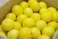 湘南ゴールド取寄販売 神奈川県オリジナルゴールデンオレンジを通販で。約5kg 約52玉〜