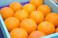 お歳暮津之輝(つのかがやき)通販 温室栽培の糖度約13度の柑橘を販売取寄。12月配送 約12玉〜約14玉 佐賀・他産地