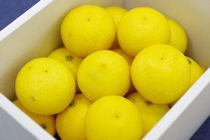 湘南ゴールド通販 神奈川県オリジナルゴールデンオレンジを販売取寄。約2kg 約20玉〜