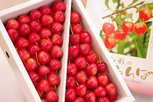 大将錦通信販売。山形さくらんぼ取り寄せで最後に収穫される桜桃 1kg バラ詰め L~2L