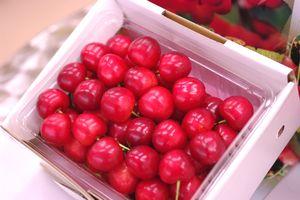 大将錦通販。山形さくらんぼ販売で最後に収穫される桜桃 500gバラ詰め L~2L