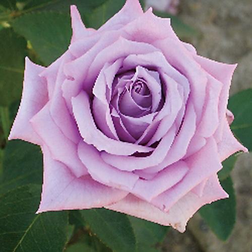 薔薇(バラ)苗木の販売店【花育通販】マミーブルー