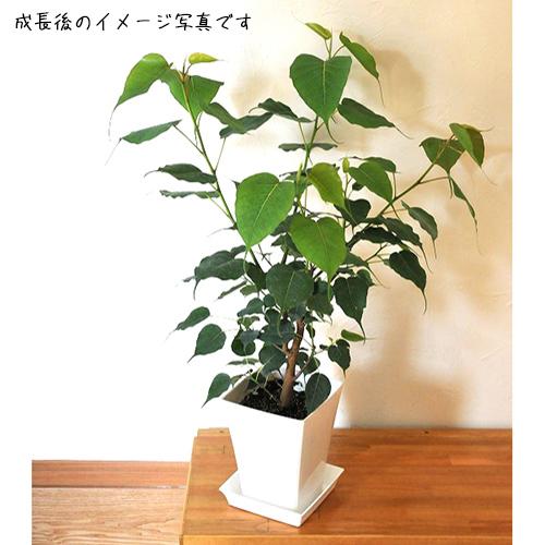 エキゾチック(トロピカル)プランツの販売店【花育通販】熱帯植物スリーマハーボダイジュ(インドボダイジュ)6号鉢植えを販売