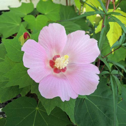 花木植木の販売店「花育通販」芙蓉(ふよう)桃花の苗木を販売
