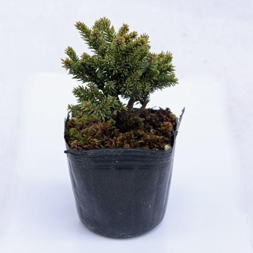 盆栽苗木の販売店【花育通販】八房エゾマツを販売
