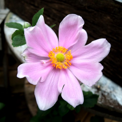 ギフト・お祝い用の秋名菊(シュウメイギク)を販売