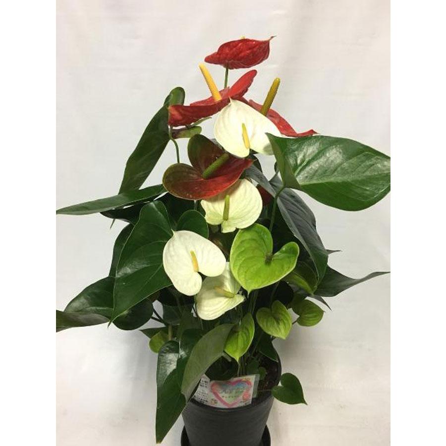 湖東のアンスリウム 赤・白の2色植え 8号鉢