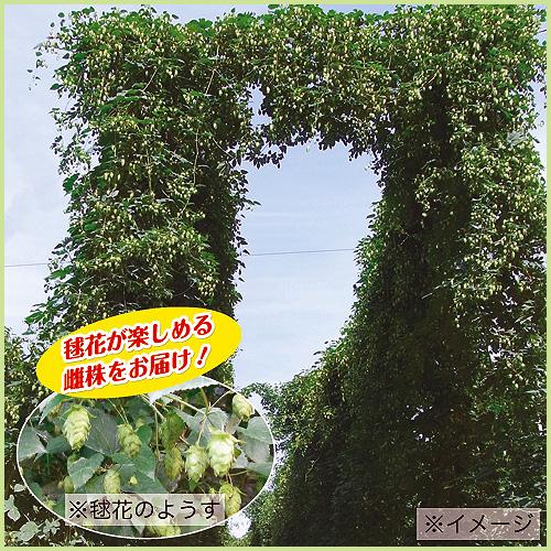 ハーブ(香草) ホップ(ビール原料)の苗を販売