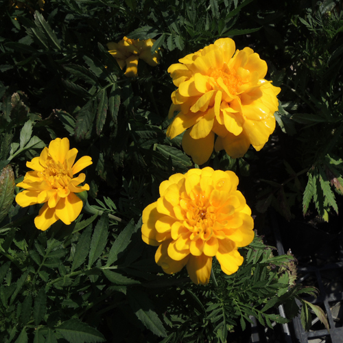 花苗の販売店【花育通販】マリーゴールドの苗を販売