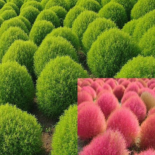 花苗(1年草)販売店【花育通販】コキア(ほうき草)の苗を販売