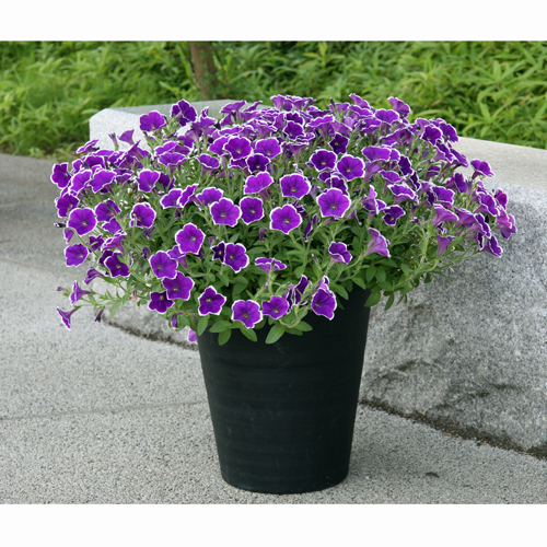花苗の販売店【花育通販】ペチュニアを販売