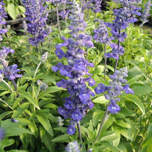 ブルーサルビア(ファリナセア)の苗を販売【花育通販】