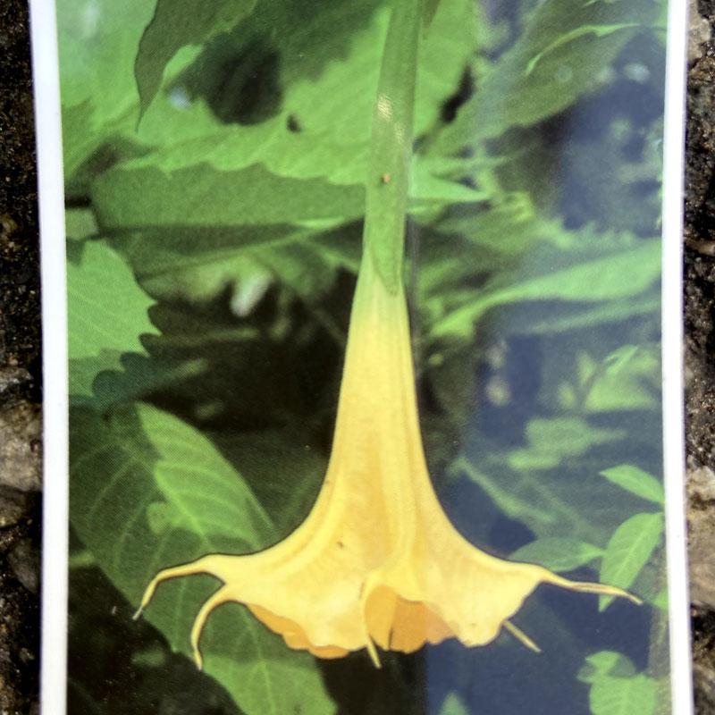 エンゼルトランペット(黄花系)の苗