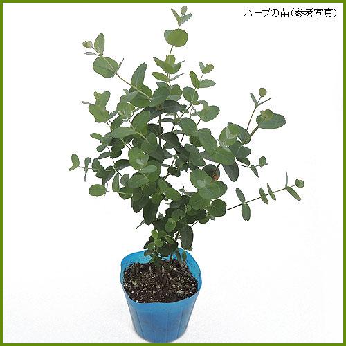 ハーブ(香草)ユーカリ・グニーの苗を販売