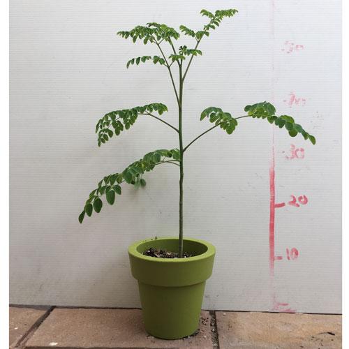 モリンガの苗を販売【花育通販】ハーブの販売店