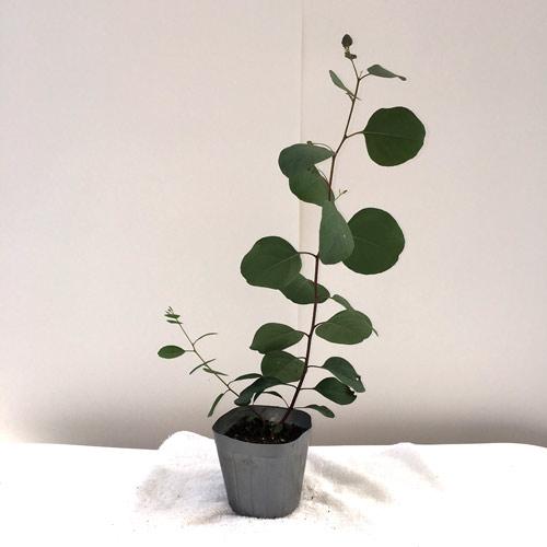 ハーブ(香草)ユーカリ・ポポラスの苗を販売