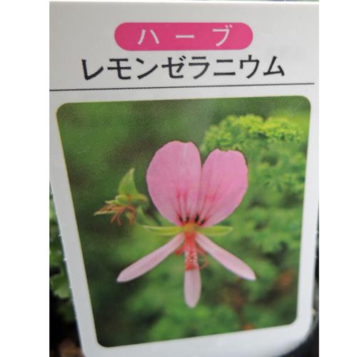 ハーブ・レモンゼラニウム【花育通販】