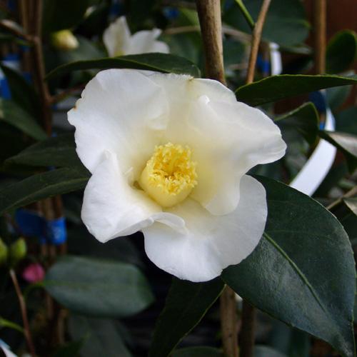 椿(つばき)の販売店【花育通販】白侘助を販売