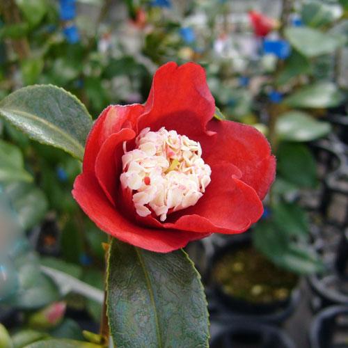 椿(つばき)の販売店【花育通販】卜伴の苗を販売