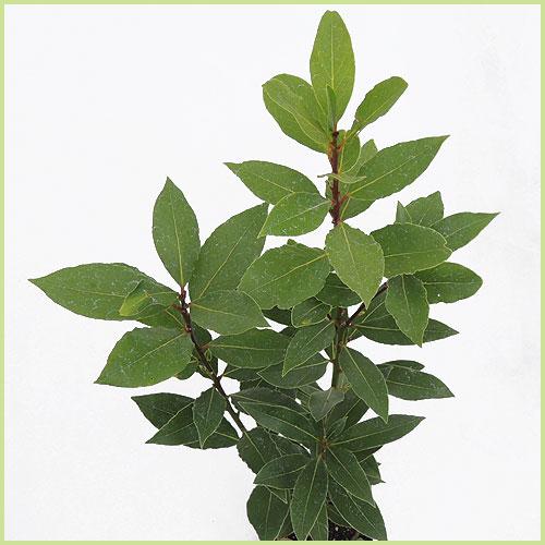 月桂樹(ローリエ)の苗木を販売