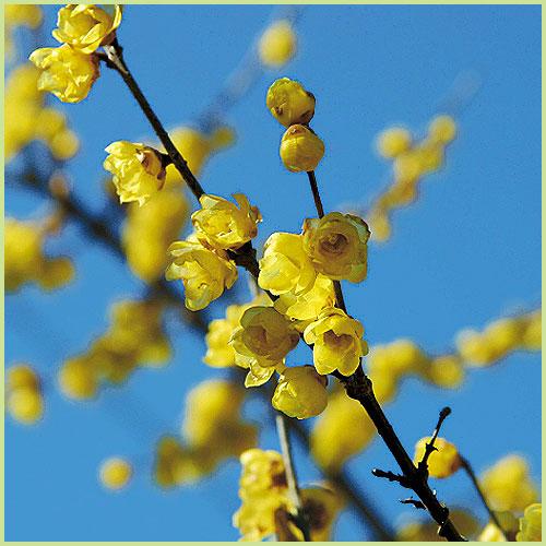 蝋梅(ロウバイ)の苗木を販売