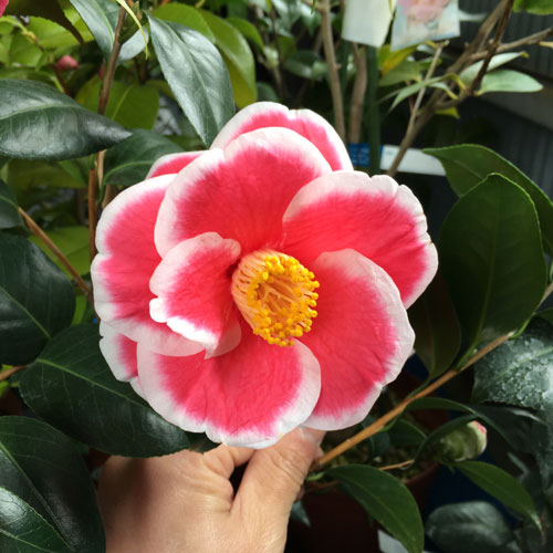 椿(つばき)の販売店【花育通販】友の浦の苗を販売