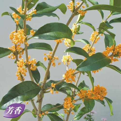 四季咲き金木犀(キンモクセイ)を販売【花育通販】