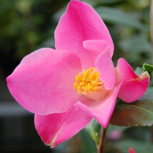 椿(つばき)の販売店【花育通販】チューリップタイムの苗を販売