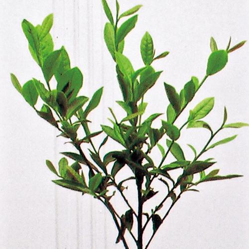 お茶の木「紅富貴(べにふうき)」の苗木を販売【花育通販】