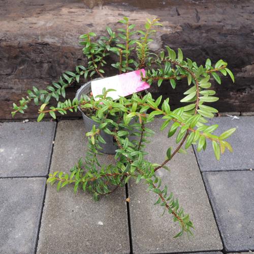 アガペテス・レッドベルの苗を販売【花育通販】