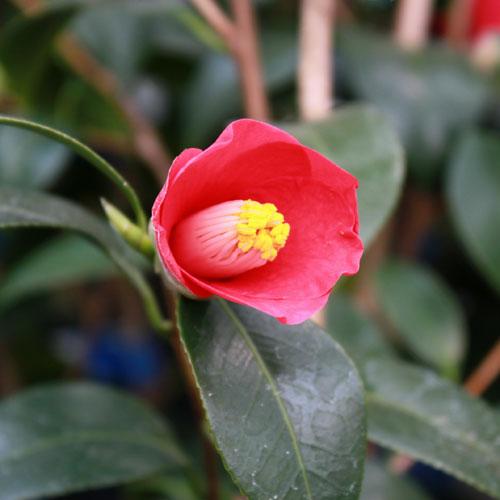 椿(つばき)の販売店【花育通販】五月姫の苗を販売
