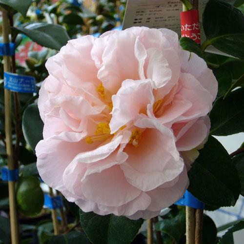 椿(つばき)の販売店【花育通販】イースターモーンの苗を販売