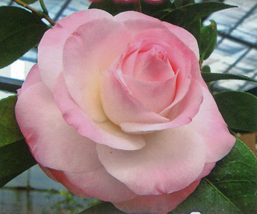 椿(つばき)の販売店【花育通販】ミリンダの苗を販売