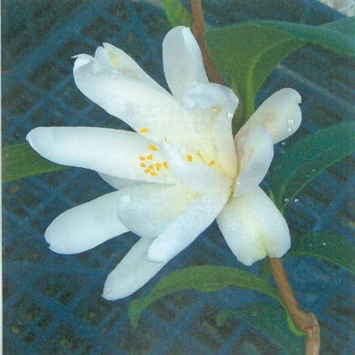 椿(つばき)の販売店【花育通販】白竜の苗を販売