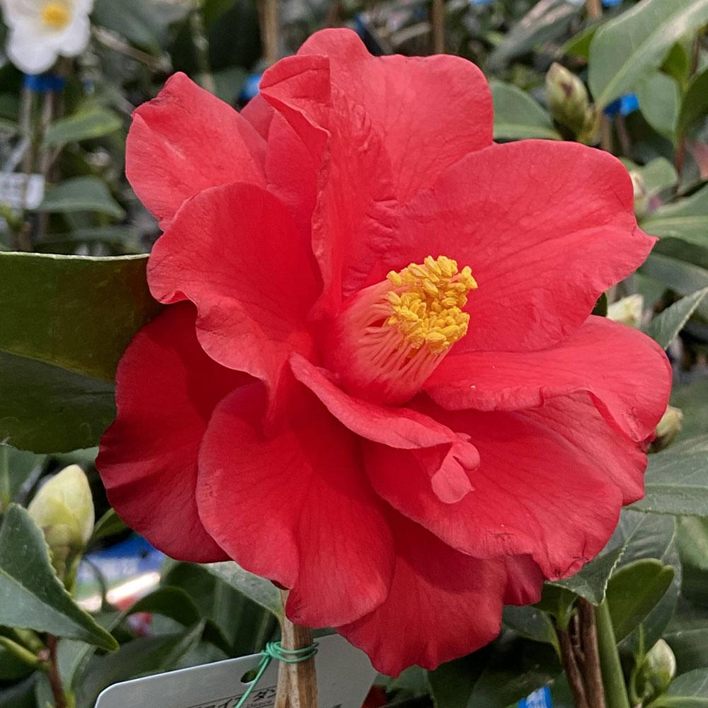 椿(つばき)の販売店【花育通販】ファイヤーダンスの苗を販売