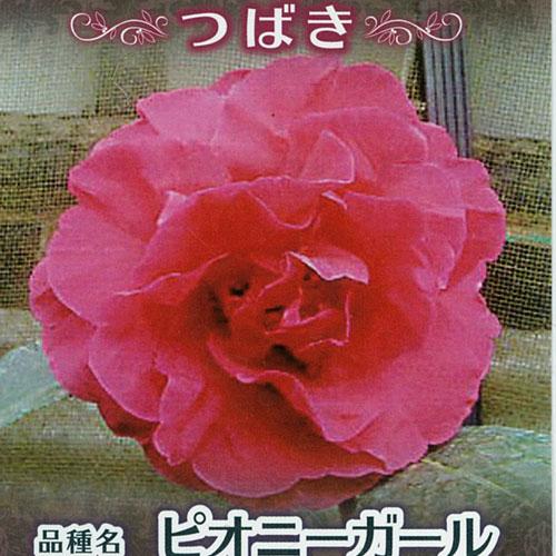 椿(つばき)の販売店【花育通販】ピオニーガールを販売