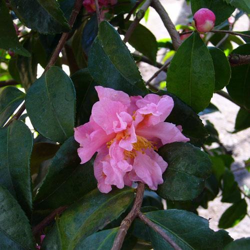 椿(つばき)の販売店【花育通販】フレグラントピンクの苗を販売。